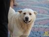 Місцевий пес
