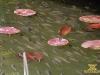 риба латаття