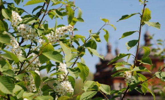 Романтична квітка козаків
